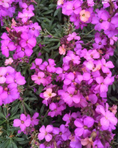 violet uprising